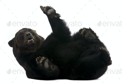 Female Siberian bear, 12 years old, lying in front of white background