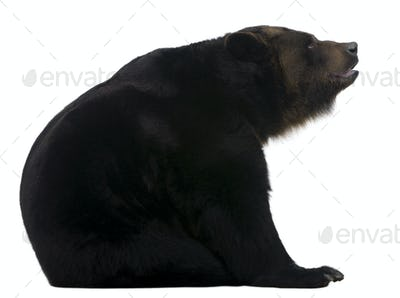 Female Siberian bear, 12 years old, in front of white background