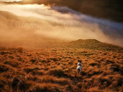 A Parson Jack Russell Terrier dog standing on a mountain slope