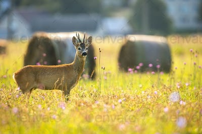Alert roe deer standing on a meadow near village in summer