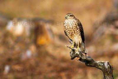 Fierce eurasian sparrowhawk sitting on bough in glade at sunrise