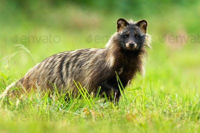 Interested raccoon dog facing camera in green natural environment