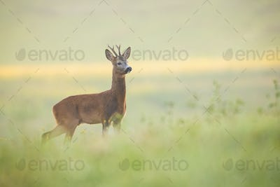 Attentive roe deer buck observing meadow with clean blurred background