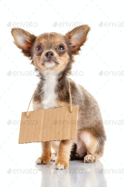 Chihuahua puppie  with empty cardboard.  Dog holding a homeless