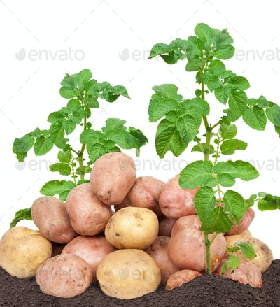 Fresh potatoes with leaves