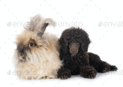 puppy toy poodle and rabbit