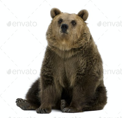 Female Brown Bear, 8 years old, sitting against white background