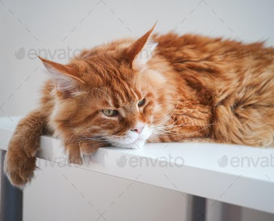Red maine coon cat laying on a table