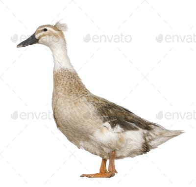 Female Crested Duck, 3 years old, standing in front of white background