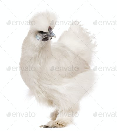 White Silkie chicken, 6 months old, standing in front of white background