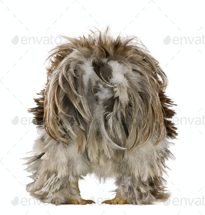 Rear view of Curly Feathered Rooster Pekin, 1 years old, standing against white background