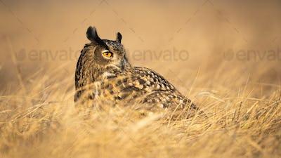 Adult eurasian eagle-owl looking aside with large orange eyes