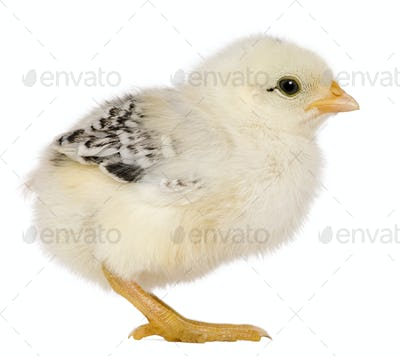 Chick, 3 weeks old, standing in front of white background