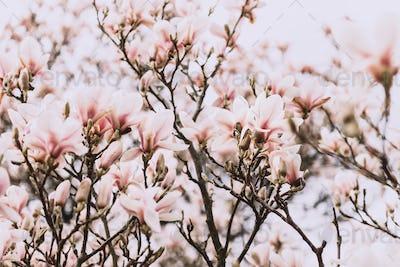 Magnolia Tree during Springtime