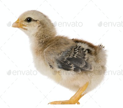 Chick, 15 days old, standing in front of white background