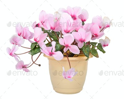 Flower of blooming pink cyclamen in pot