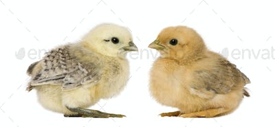 Two chicks in front of white background