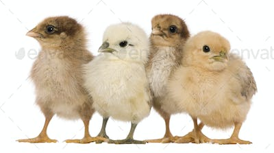 Group of four chicks standing against white background