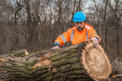 Forestry technician analyzing tree trunk after cutting