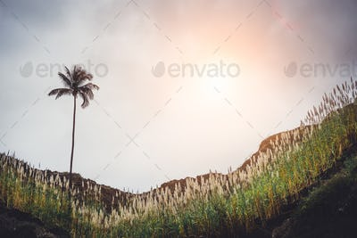 Mountain hill with the palm tree, overgrown with sugarcane plants. Sun Rays coming through the