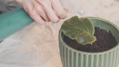 Woman splashes by water leaf of violet in pot at home.