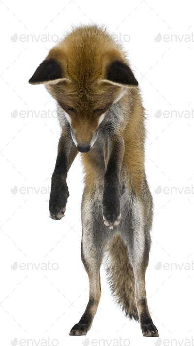 Red Fox, 1 year old, standing on hind legs in front of white background