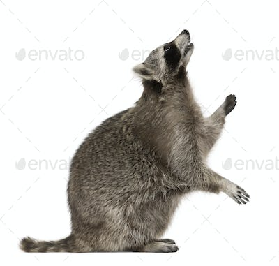 Raccoon looking up in front of white background