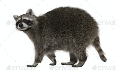 Raccoon, 2 years old, walking in front of white background