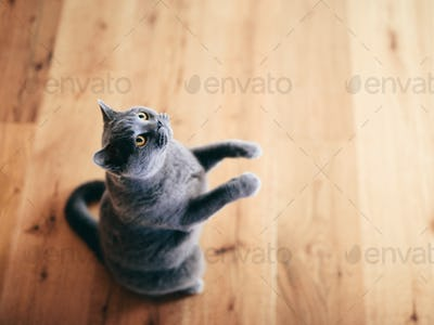 Funny British cat standing as if he was begging, asking.