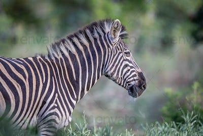 Side profile of a Zebra in the bush.
