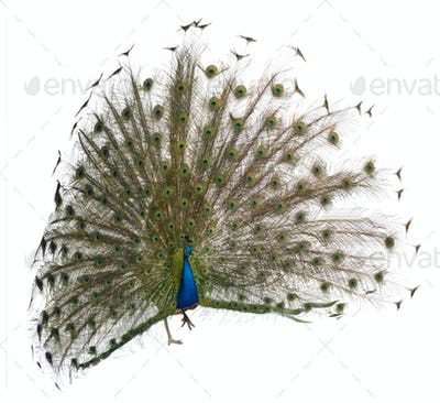Front view of a male Indian Peafowl displaying wheel against white background