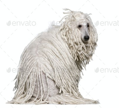 White Corded standard Poodle sitting in front of white background