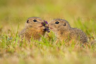 Two european ground squirrel touching flower on a meadow in summer nature