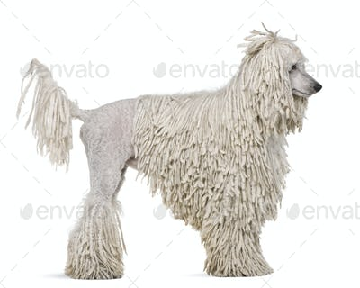 Side view of White Corded standard Poodle standing in front of white background