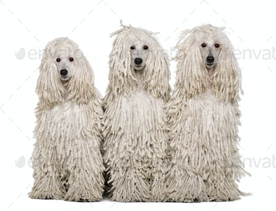 Three White Corded standard Poodles sitting in front of white background