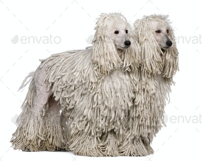 Two White Corded standard Poodles sitting in front of white background