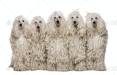 Five White Corded standard Poodles sitting in front of white background