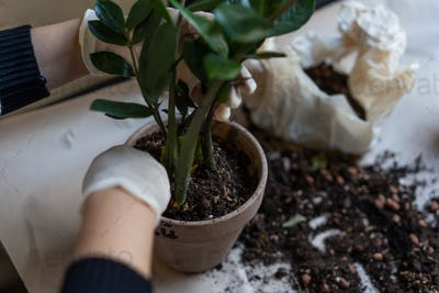 Female hands are planted in a flower pot. Close-up