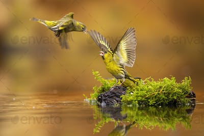 Flying eurasian siskin challenging other one guarding its spot with open wings