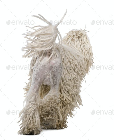 Rear view of White Corded standard Poodle walking in front of white background