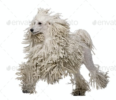 White Corded standard Poodle walking in front of white background