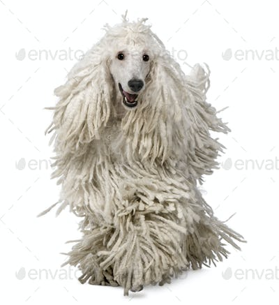 Front view of White Corded standard Poodle walking in front of white background