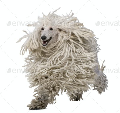 White Corded Standard Poodle running against white background