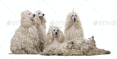 Group of White Corded standard Poodles in front of white background