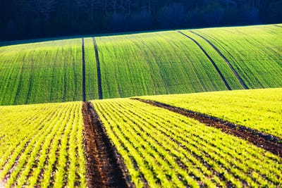 Green wheat rows and waves of the agricultural fields
