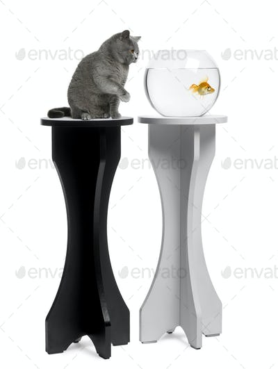 Cat looking at a goldfish in an aquarium on stand against white background