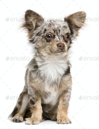 Front view of Chihuahua puppy, 8 months old, sitting in front of white background