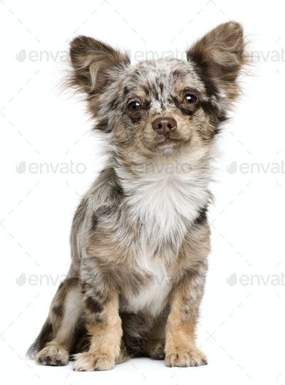 Portrait of Chihuahua puppy, 8 months old, sitting in front of white background