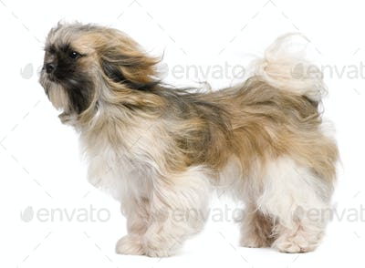 Shih Tzu, 1 year old, windswept and standing against white background
