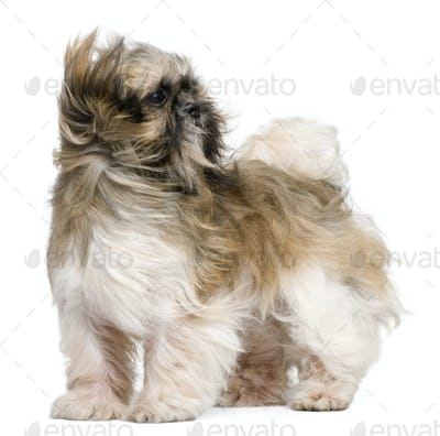 Shih Tzu, 1 year old, standing in front of white background